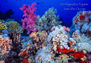 Corals in Red Sea, Sharm il Sheik Egypt by Alejandro Topete 